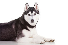 Siberian husky dog. Portrait of siberian husky dog Royalty Free Stock Photo