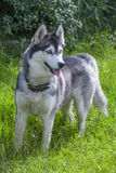 Siberian husky dog portrait. Enjoying a walk in the summer Stock Images
