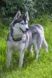 Siberian husky dog portrait Stock Images