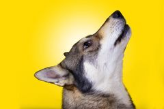 Husky Dog howling. Siberian Husky dog Portrait howling stock photos