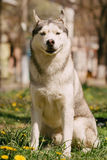 Siberian Husky dog. Dog. Portrait on the lawn in the urban environment. Portrait of Siberian Husky Royalty Free Stock Photography