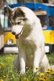 Siberian Husky dog. Dog. Portrait on the lawn in the urban environment. Portrait of Siberian Husky Royalty Free Stock Photos
