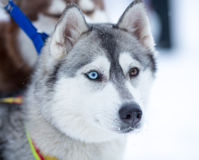 Siberian husky dog portrait Stock Photos
