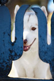 Siberian husky dog portrait. In outdoore. Close-up shot Royalty Free Stock Photos