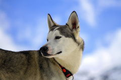Siberian husky dog portrait. Siberian husky dog wearing red necklace portrait and cloudy sky background Stock Photos