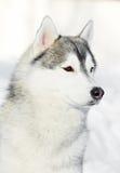 Siberian husky dog portrait at winter Royalty Free Stock Photos