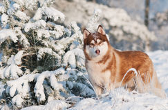 Siberian husky dog portrait in winter Royalty Free Stock Image