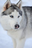 Siberian husky dog portrait Royalty Free Stock Photos