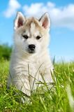 Siberian husky dog puppy Stock Images
