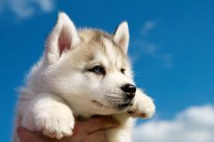 Siberian husky dog puppy Stock Photography