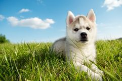 Siberian husky dog puppy Royalty Free Stock Image