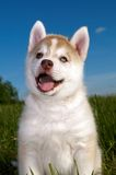 Siberian husky dog puppy Stock Photo