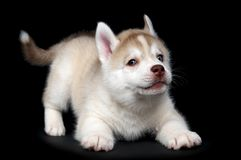 Siberian husky dog puppy Royalty Free Stock Photos