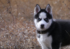 Siberian husky dog puppy Stock Image