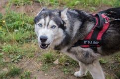 Siberian husky dog Royalty Free Stock Photos