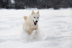Siberian husky dog running in snow. Front view of white Siberian husky dog running in snow, winter scene Stock Images