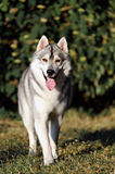 Siberian husky dog running in summer. In outdoore Stock Images