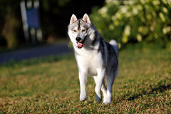 Siberian husky dog running in summer. In outdoore Stock Photos