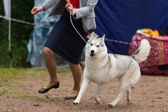 Siberian husky at a dog show. Grey Siberian husky at a dog show runs with his owner Royalty Free Stock Photography