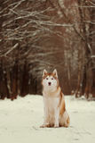 Siberian Husky. Dog sitting on a footpath in a snowy forest Royalty Free Stock Photography