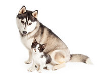 Siberian Husky Dog Sitting With Little Kitten Stock Photo