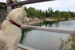 Siberian husky dog sitting near the lake in dusk.  royalty free stock photo