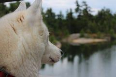 Siberian husky dog sitting near the lake in dusk.  stock image