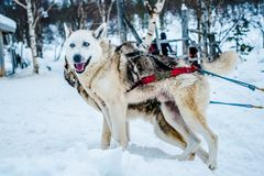 Siberian Husky Dog Sled in Ivalo, Finland royalty free stock photography