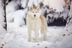 Siberian husky dog in the snow forest. Artistic photo of a dog Royalty Free Stock Images