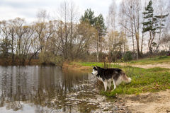 Siberian husky dog stands on the shore of the lake in autumn.  royalty free stock image
