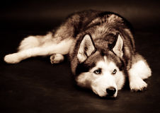Siberian husky dog. studio shot on dark background Royalty Free Stock Images