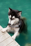 Siberian husky dog in the swimming pool. A black and white color siberian husky dog exercising in a swimming pool Stock Photo