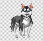 Siberian husky dog on transparent background Stock Images
