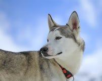 Siberian husky dog turning head back Royalty Free Stock Photo