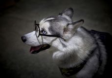Siberian Husky dog wearing glasses. Siberian Husky dog wearing glasses on Dark background stock photo
