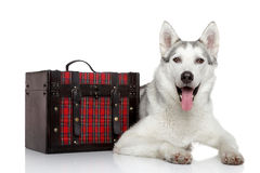 Siberian Husky dog on white background Stock Photos