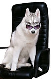 Siberian Husky dog on a white background. Siberian Husky dog in bow tie and sunglasses on a white background Stock Photography