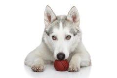 Siberian Husky dog on white background Stock Photo