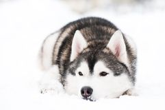 Siberian husky dog at winter Stock Photography