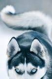Siberian Husky dog  in winter Stock Photo
