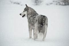 Siberian husky dog winter portrait Stock Images