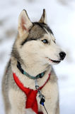 Siberian husky dog. Winter portrait Stock Photo