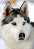 Siberian husky dog. Winter portrait Stock Images