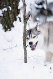 Siberian husky dog winter portrait. Siberian husky dog gray and white winter portrait Stock Images