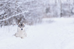 Siberian husky dog winter portrait. Siberian husky dog gray and white winter portrait Stock Photography