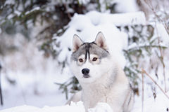 Siberian husky dog winter portrait. Siberian husky dog gray and white winter portrait Royalty Free Stock Photo