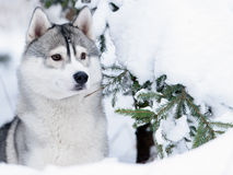 Siberian husky dog winter portrait. Siberian husky dog gray and white winter portrait Royalty Free Stock Images