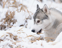 Siberian husky dog winter portrait. Siberian husky dog gray and white winter portrait Stock Photos