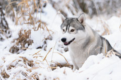 Siberian husky dog winter portrait. Siberian husky dog gray and white winter portrait Royalty Free Stock Photography