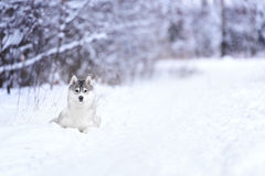 Siberian husky dog winter portrait. Siberian husky dog gray and white winter portrait Stock Photo